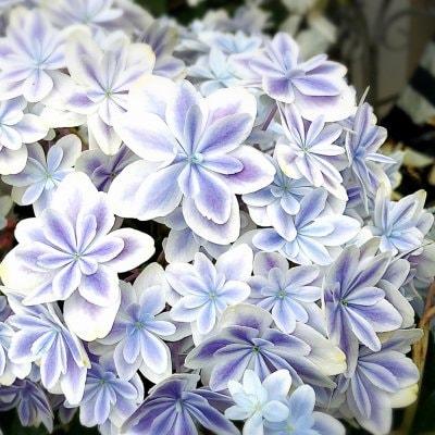 〜繊細で美しいアジサイ〜島根県発の超人気品種!【万華鏡(まんげきょう)】