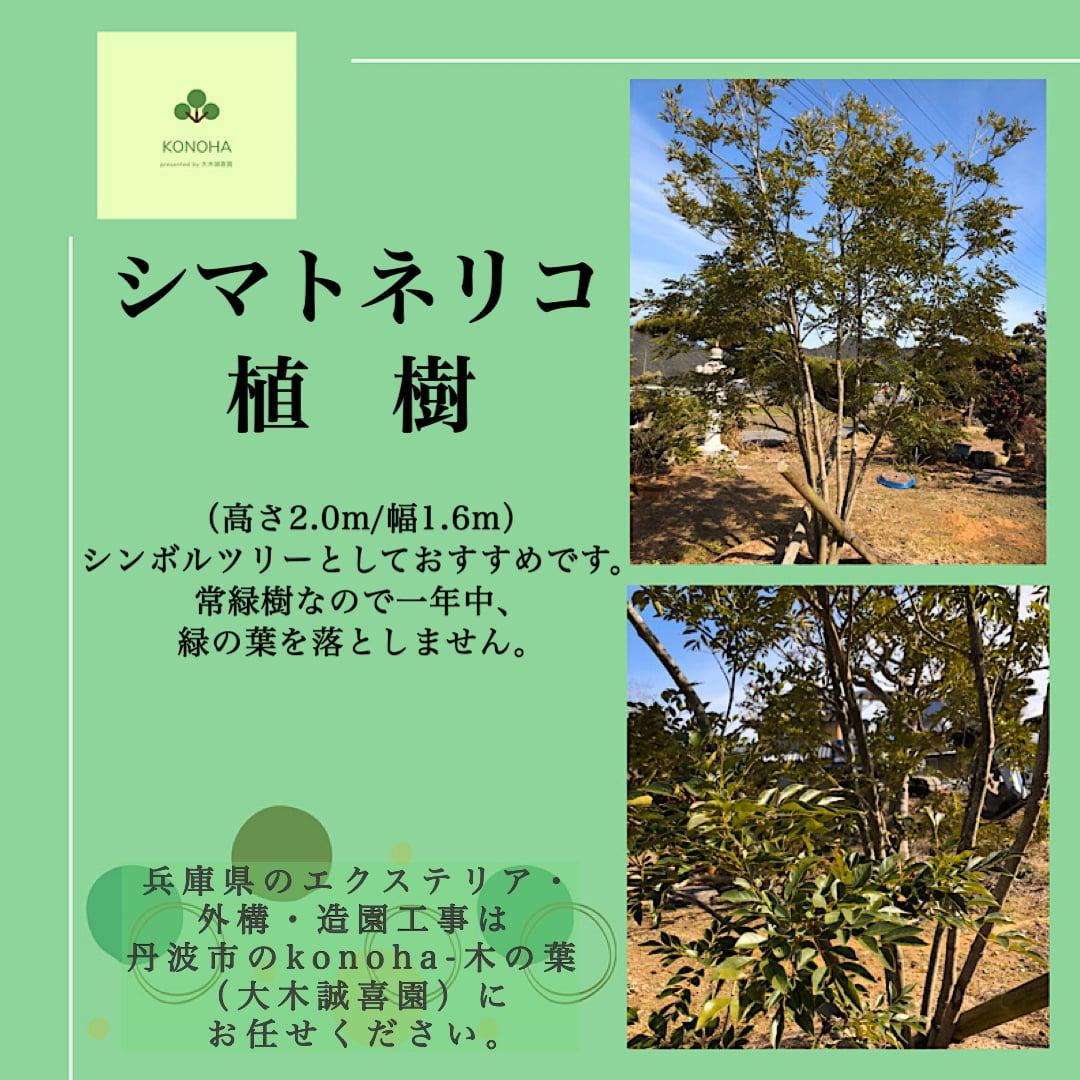 シマトネリコ植樹のイメージその1