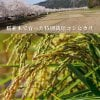 R2新米30㎏[桜並木で育った特別栽培コシヒカリ] /新潟米/エルアール/LR