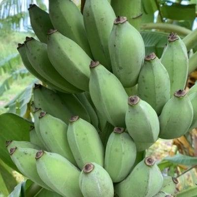 【特価】沖縄産バナナ 〜自然栽培〜 約5Kg(約30本〜50本)