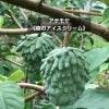 【森のアイスクリーム】沖縄産アテモヤ(ご家庭用) 〜自然栽培〜 約1Kg(2玉〜5玉)