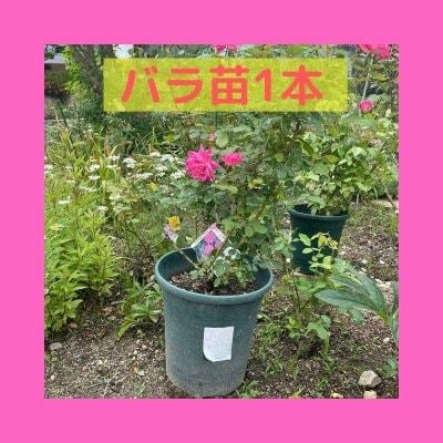 【バラ苗1本+ポッド】ピンクダブルノックアウト