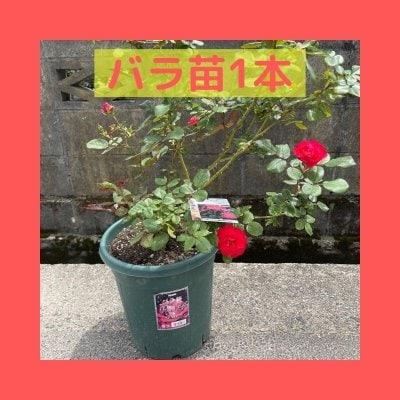 【バラ苗1本+ポッド】チェリーボニカ