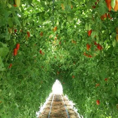 収穫体験! 岡山 ひるぜん 美肌トマト食べ放題! 蒜山高原の野菜 蒜山インターから車で5分