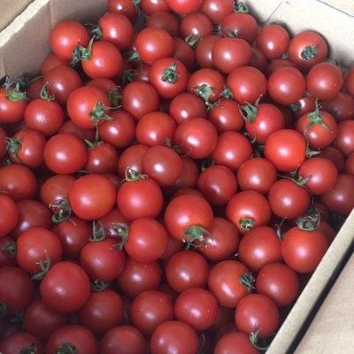 生産者直送/ミニトマト(小鈴)/約2.5Kg/有機肥料/特別栽培/高糖度/有機産業/野菜通販[さすてな農園]