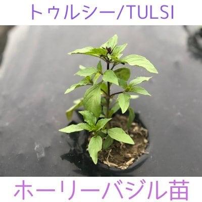 ホーリーバジル(Tulsi) 苗 2本立 3ポットセット(6本) /岐阜野菜通...