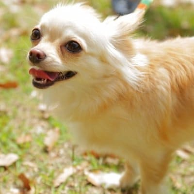 【単発】わんちゃんお散歩のみコース(小型犬・中型犬)※交通費込み