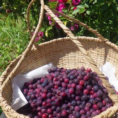 自然栽培ベリーベリー収穫まつり