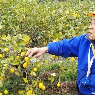 自然栽培 烏山農園瀬戸内レモン15キロ