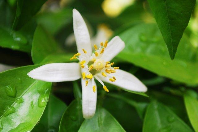 3/29「植物の恵みを日々の暮らしに取り入れよう」(ネロリ編)のイメージその3