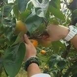 先行予約【11月開始】柿狩りチケット柿狩り体験|旬の柿をご自身で収穫してみてください♪
