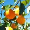 【令和三年度富有柿】柿の木オーナー様募集/奈良県下市町産の富有柿|収穫時期令和3年11月上旬~12月頃まで|富有柿L~2Lサイズ混合20kg(約70~80個保障)【高ポイント】