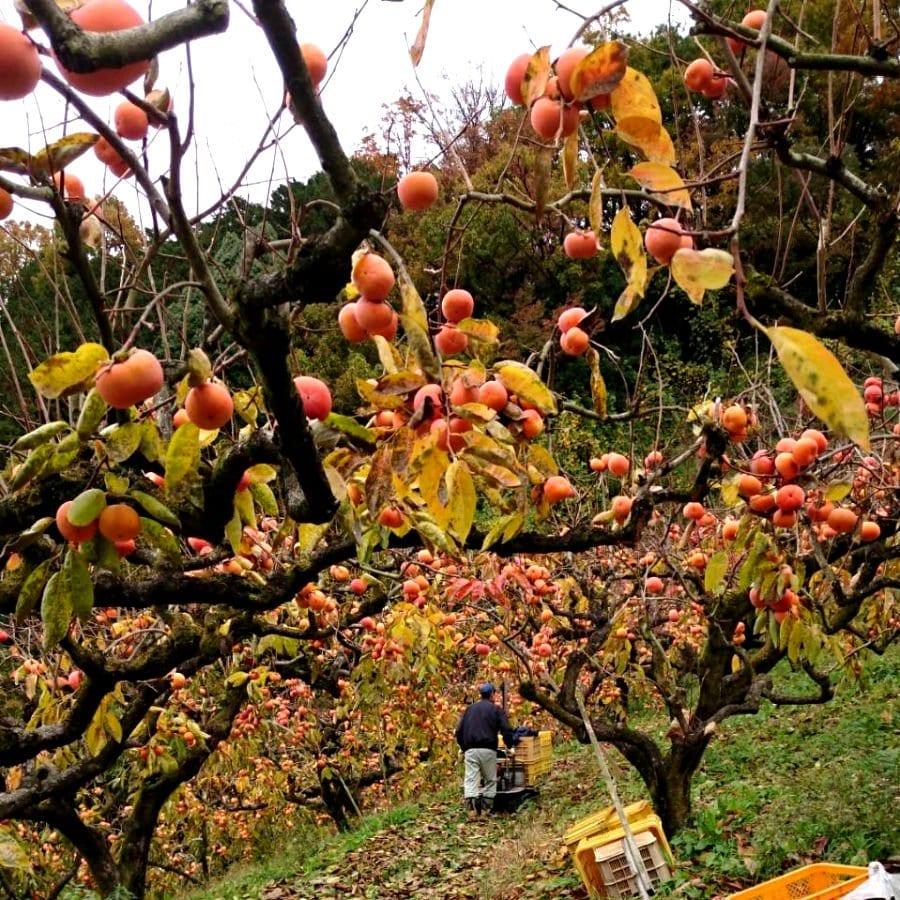 先行予約【11月開始】柿狩りチケット柿狩り体験|旬の柿をご自身で収穫してみてください♪のイメージその3