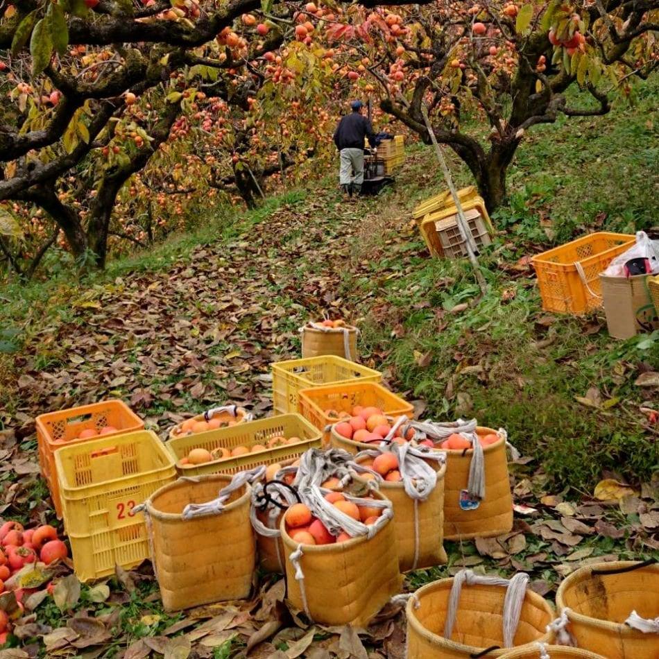 先行予約【11月開始】柿狩りチケット柿狩り体験|旬の柿をご自身で収穫してみてください♪のイメージその2