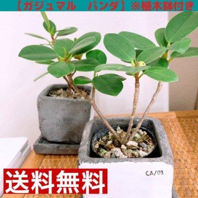 【観葉植物】ガジュマル・パンダ/植木鉢付き