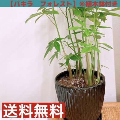 【観葉植物】パキラ・フォレスト/植木鉢付き