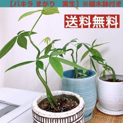 【観葉植物】パキラ・まがり・実生/植木鉢付き