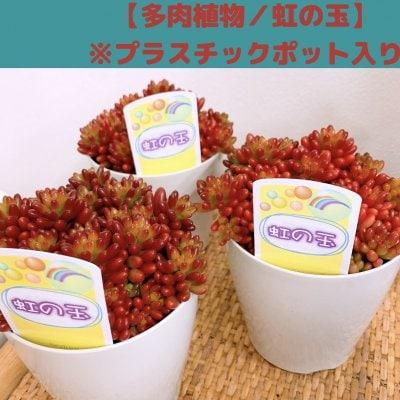 【多肉植物】セダム・虹の玉/プラスチックポット入り