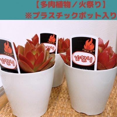 【多肉植物】火祭り/プラスチックポット入り