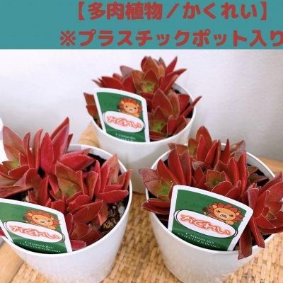 【多肉植物】かくれい(赫麗)/プラスチックポット入り