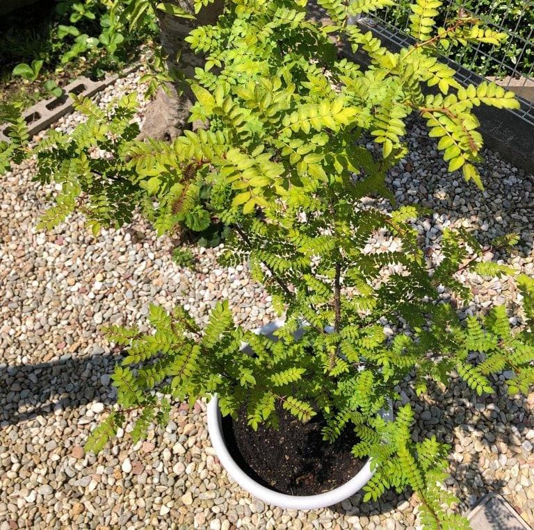 山椒の葉収穫体験のイメージその2