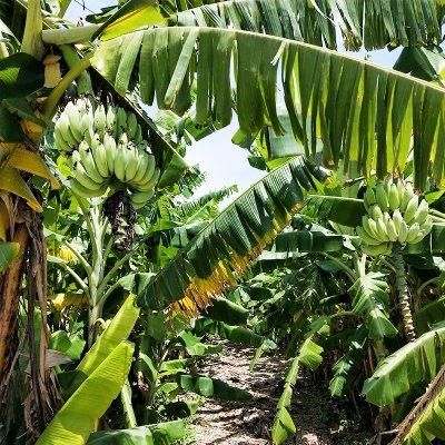 【予約注文】うるマルシェ生産者バナナ部会のバナナ(アップルバナナ、黄輝シャイン)30本程度