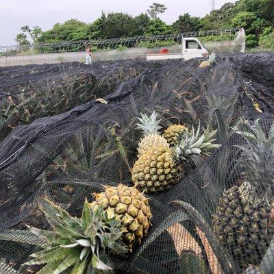 【10月限定】【6万坪で作った】比嘉順一さんのハワイ種パイン3玉(100サイズ)