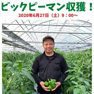【2020年6月27日(土)9:00〜】ビックピーマン収獲体験。