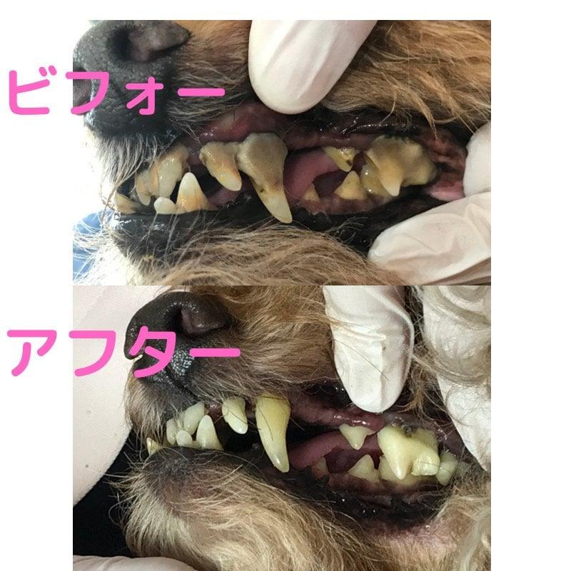 10月4日 午後の部 犬の無麻酔歯石除去 施術予約券のイメージその4