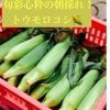 【大好評につきまもなく販売終了】信州・松本!旬彩心粋の朝どれ!生でも食べられるトウモロコシ【8本入】