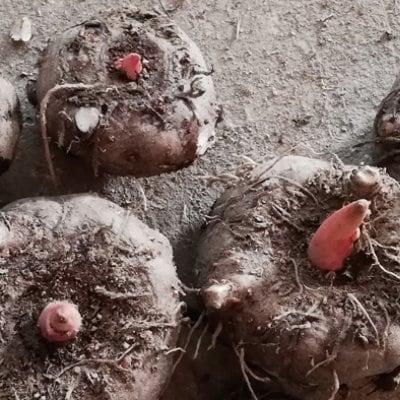 自然栽培の蒟蒻芋を使ってのコンニャク作り 第9回