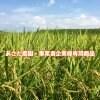 企業様 紅茶•カリー シットロト様専用 キヌヒカリ2020年度産玄米/送料込