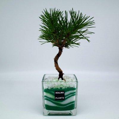【New】松の盆栽カラーサンド植えM