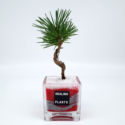 【New】松の盆栽カラーサンド植え