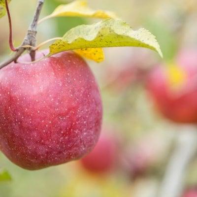 (クラファン型)廃棄されるりんごを買い取り、頑張っている農家さんの...