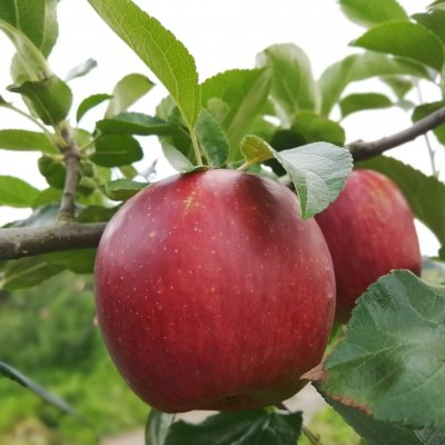 [5,000円]プロジェクト応援コース 農家さんの廃棄するりんごの買い取りにご支援をお願いします!