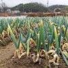 【コロナ救済】訳ありネギ|無農薬・有機栽培|鍋・すき焼き用/30本入り