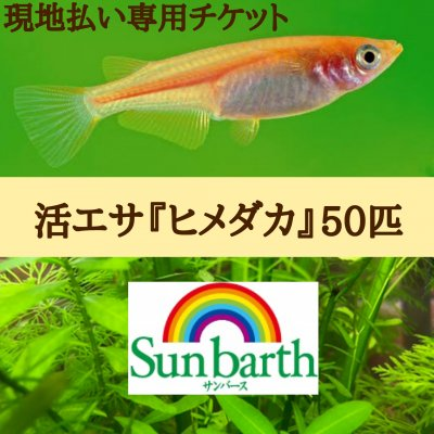 現地払い決算専用◆活エサ/ヒメダカ50匹◆格安!!