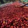 定期便【エチオピアコーヒーツアーコース】250g×2セット《毎月初めに届く!送料無料》