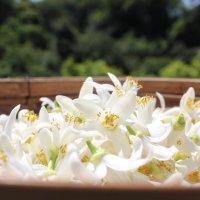 [予約販売]フレッシュネロリ100g[ビターオレンジ花,ネロリ,冷蔵発送]開花後順次発送4月末〜5月初旬