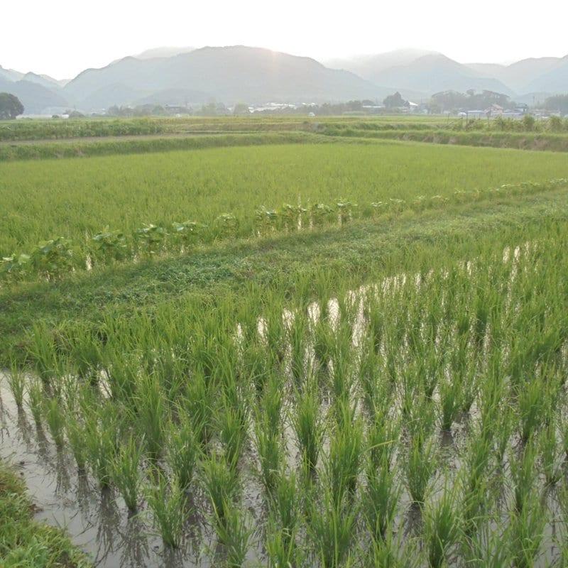 令和3年度【苗株主大募集!】自然栽培の稲作を支援する苗のオーナー「苗株主」を募集します。【百姓天下米プロジェクト〜百姓てんてこ舞いからの解放〜】のイメージその3