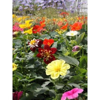《花農家直送》[送料無料]花苗(一年草・多年草)おまかせ10ポット