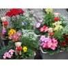 《花農家直送》[送料無料]エディブルフラワーの寄せ植え5種