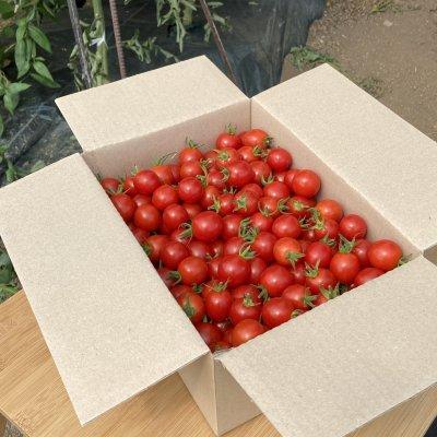 旭川市内限定!ミニトマト1.8kg〈店舗受渡のみ〉