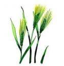 不老仙のこだわりの原料ー大麦