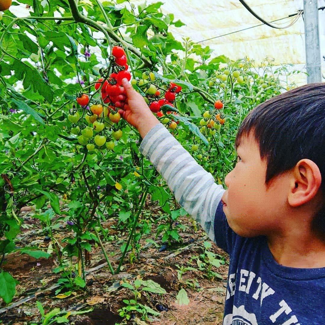 千葉県旭市こだわりづくしのマスクメロン通販 伊藤農園 トマト