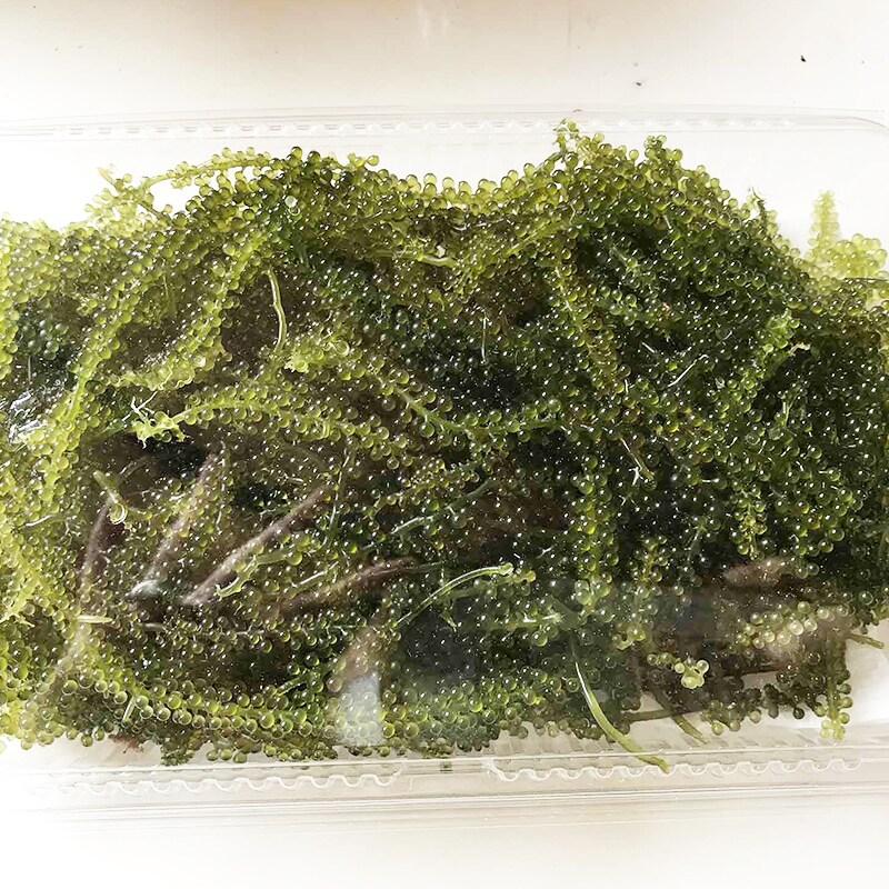 さあ、収穫した海ぶどうを、いざ出荷!…というわけにはいかず…実はここからが大変。